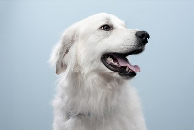 What Are the Causes of White Dog Hair Turning Red?