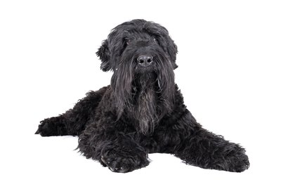 Black Russian Terrier Dog Breed Facts & Information