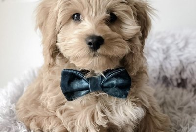 15 Dogs Looking Perfectly Distinguished in Bowties
