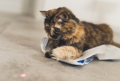 Why Do Cats Love Laser Pointers?