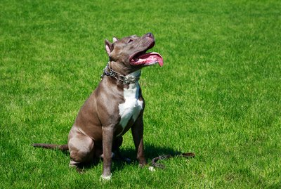 Do They Have American Pit Bull Terriers at the Westminster Dog Show?