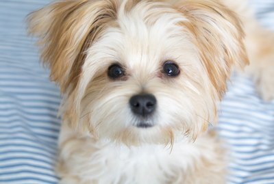 5 Best Tips for Grooming a Morkie