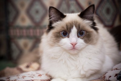 12 Fascinating Facts About Ragdoll Cats