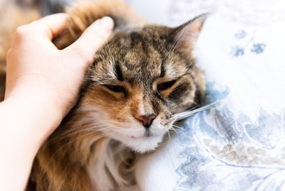 Does Purring Always Mean Your Cat is Happy?