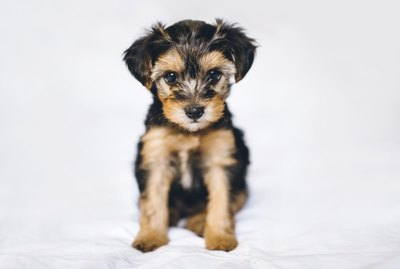 The Yorkie Poo: Everything You Need to Know About This Adorable Dog