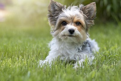 How to Groom a Terrier Mix