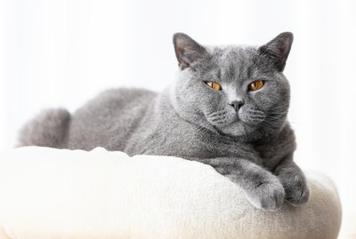 7 Fascinating Facts About The British Shorthair Cat