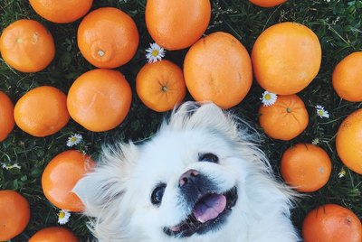 Can Dogs Eat Oranges?