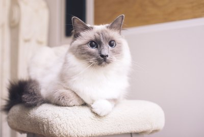 187 Names For Ragdoll Cats