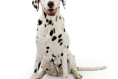 Why Are Dalmatians Fire Dogs?