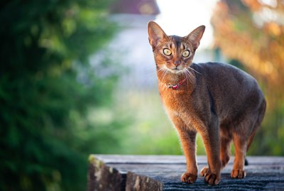 9 Fascinating Facts About Abyssinian Cats