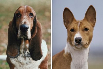 Why  Some Dogs Have Floppy Ears and Others Don't