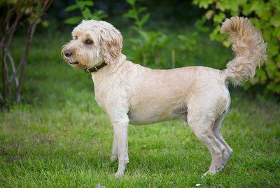 About Cockapoo Dogs