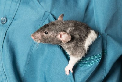 Are Rats Affectionate Pets?