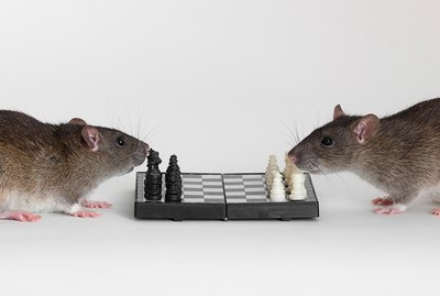 Can You Teach Rats Tricks?