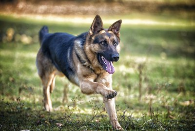 Difference Between Herding Dogs & Working Dogs