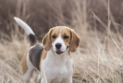 History and Characteristics of Hunting Dogs