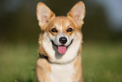 Information About Corgi Dogs