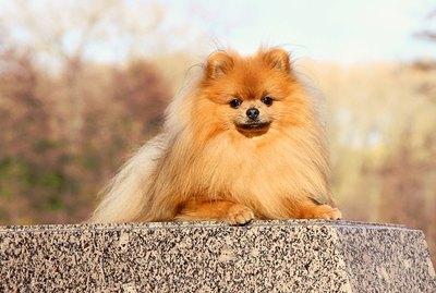 Personality Characteristics of Pomeranians