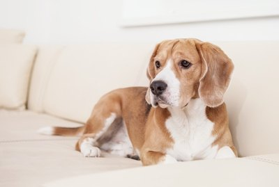 Stop Your Dog From Going Potty on Furniture