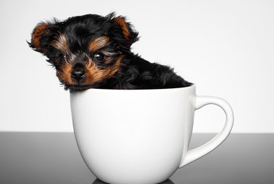 Toy vs. Teacup Dogs