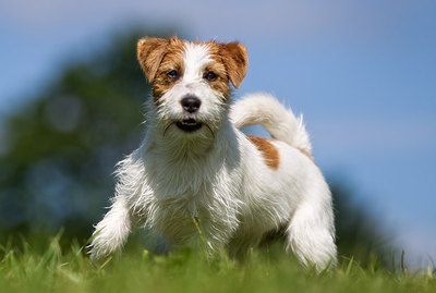 Types of Terriers