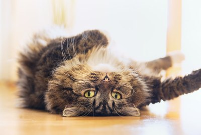 What Does It Mean When a Cat Lies on Its Back?