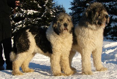 About Mioritic Sheepdogs