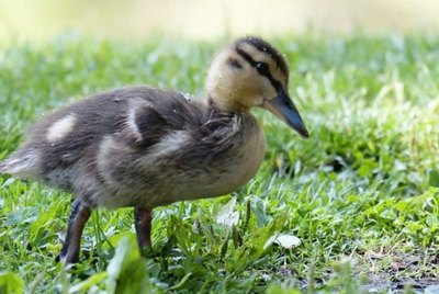 How to Potty Train a Duck