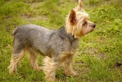 Why Don't a Yorkie's Ears Stand Up?