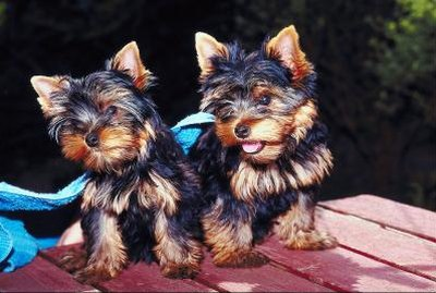 Basic Haircuts for Yorkie Terrier Dogs