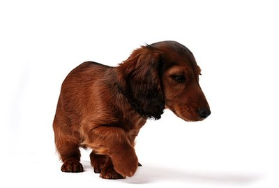Remedy for a Dachshund's Dry Skin