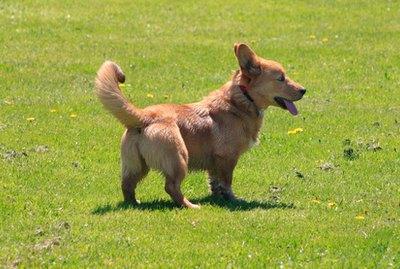 How to Get Corgis to Stop Barking