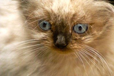 Himalayan Cat Allergies