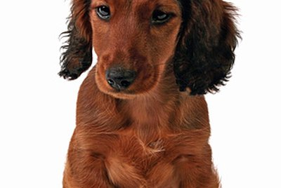 How Much Should My 5 Month Old Dachshund Weigh?