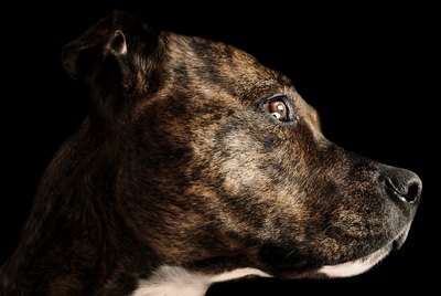 Brindle Pit Bull Facts