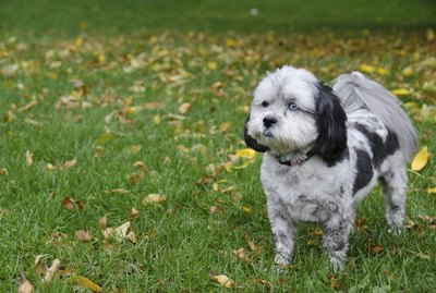 Grooming Ideas for a Shih-Poo