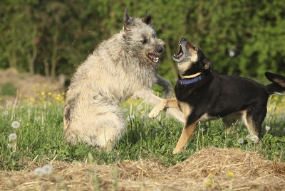 How to Help Two Dogs to Get Along When One Is Aggressive