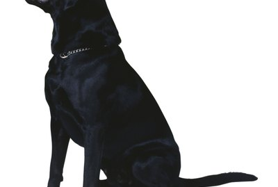 How Much Do I Feed a Labrador Dog?