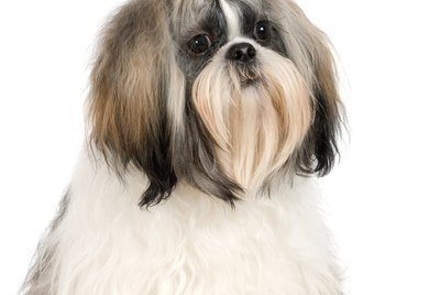 Hairstyles for Shih-Tzus