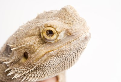 How Long Can Bearded Dragons Be Out of Their Cage?