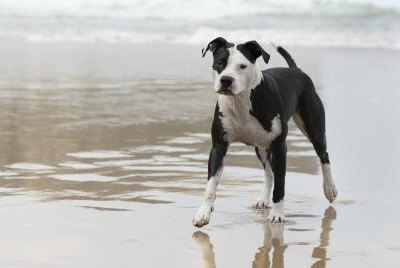 The Body Types of the American Pitbull Terrier