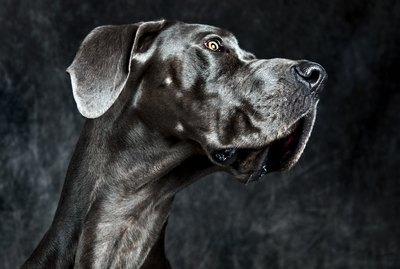 How Smart Are Great Danes?