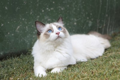 The Differences Between Ragdoll & Birman Cats