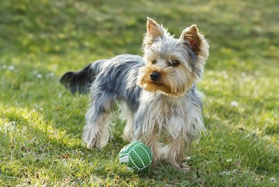 How to Stop Aggressive Behavior in My Yorkie