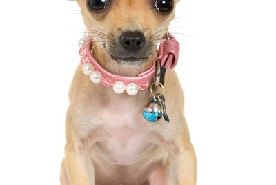 How to Put Bows in a Chihuahua's Short Hair