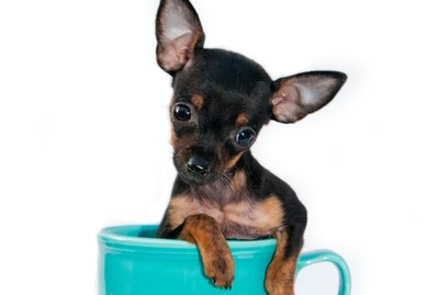 Difference Between Teacup & Toy Chihuahuas