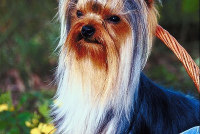 How to Cut a Yorkie's Facial Hair