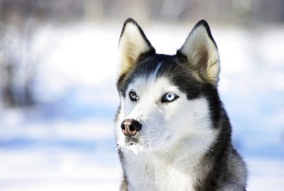 What Is Snow Nose in Huskies?