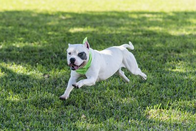 Differences in Male & Female Pit Bull Terriers